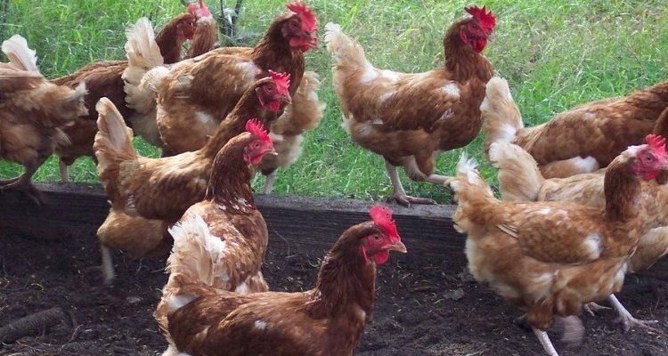 suplier ayam broiler