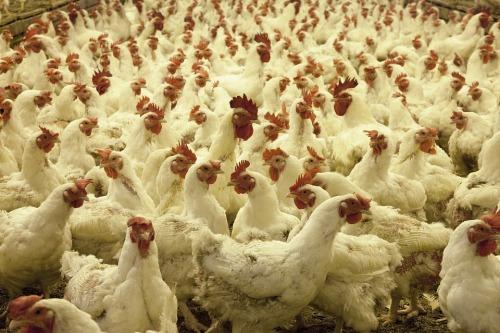 jual ayam broiler